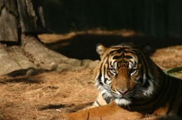 tiger in sun