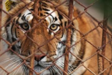 Farm tiger