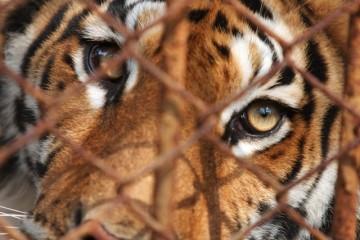 Tiger behind cage