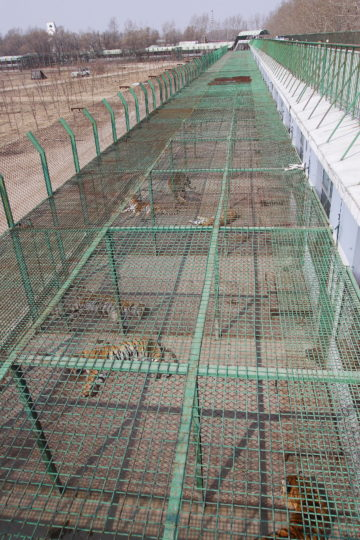 Tigers in battery cages